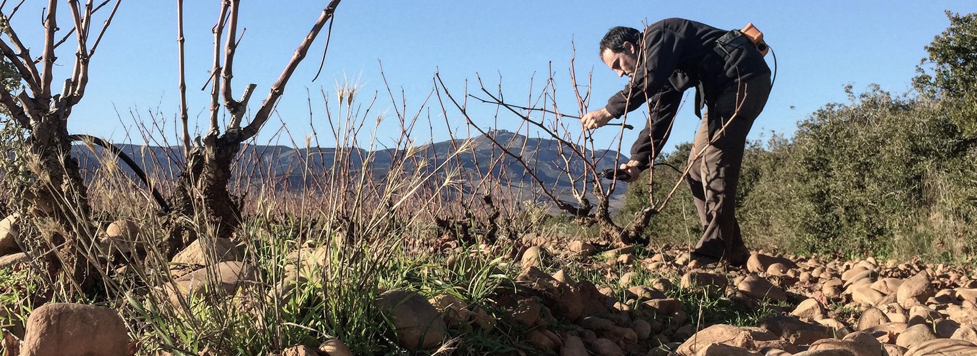 Javier Arizcuren Trabajando su Viñedo