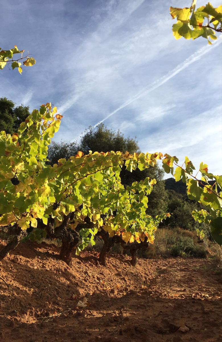Detalle de las cepas en los viñedos de Arizcuren Bodega y Viñedos